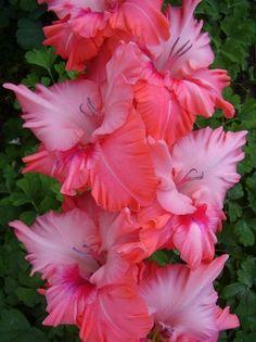 Gladiolus – A wonderful Summer Flower – Dan330