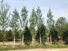 Looking for trees in the Fort Wayne area? Look no further. We have a great selection to choose from at a price that won't hurt your wallet!  http://hoosierhomeandgarden.com/fort-wayne-trees