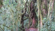 Incredible trees in the rain forest on the climb to Mt. So incredible! Kilimanjaro, Rain, Trees, The Incredibles, Nature, Plants, Rain Fall, Naturaleza, Tree Structure