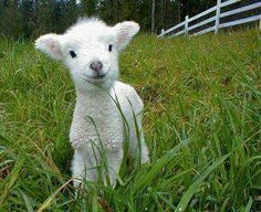 Cute Baby Animals Sweet little lamb Cute Baby Animals, Animals And Pets, Funny Animals, Farm Animals, Animal Pictures, Cute Pictures, Baby Sheep, Baby Lamb, Baby Goats