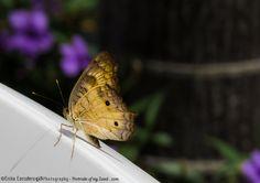 Mariposa en descanso / Butterfly at rest