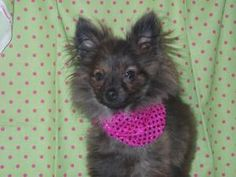 Lola is an adoptable Pomeranian Dog in Stockton, CA. Hi my name is Lola, and I am a 4 month old female, brindle Pomeranian.  I am very small and super playful!  I love all other dogs and I am doing re...