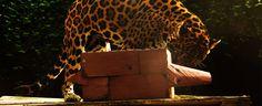 Our very own jaguar Otorongo exploring his enrichment activity. Enrichment Activities, Jaguar, Exploring, Giraffe, Shelter, Wildlife, Shelters, Animals