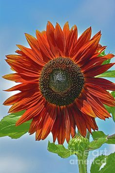 #sunflower by Regina Geoghan Photography