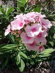 Phlox paniculata 'Bright Eyes' - Plant Finder