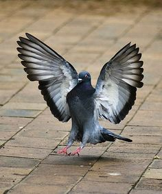 Pigeon a Day Dove Pigeon, Pigeon Bird, Pigeon Peas, Animals Images, Animals And Pets, Cute Animals, Beautiful Birds, Animals Beautiful, Ara Bleu