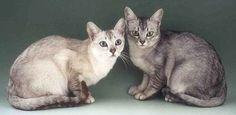 бурмилла - породы кошек с фотографиями и названиями пород