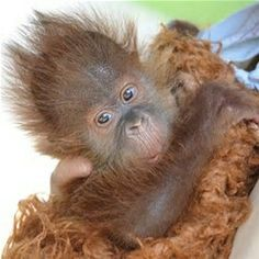 This Baby Sumatran Orangutan Menari,Was Born@New Orleans Audubon Zoo Last June, With A Full Head(&body lol) Of Stick Straight Red Hair