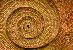 Detail of Chameleon Tail-spiral -  Flickr - Photo Sharing!