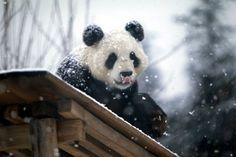 Teddys Seltene Vintage Mary Meyer Plüsch 10  Fluffy Tubby Baby Riesenpanda Cub