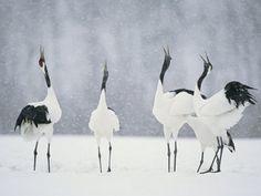 Red Crowned Cranes - Japan