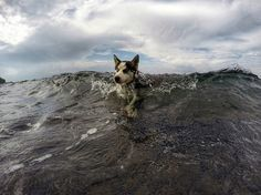 A four-month-old husky swims in the waters off Bali in this National Geographic Photo of the Day.