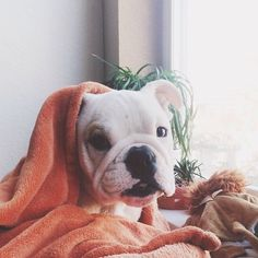 Pig in a blanket! #Padgram  // KaufmannsPuppyTraining.com // Kaufmann's Puppy Training // dog training // dog love // puppy love