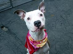 SAFE!!!!!   GABBY - A1072913 - - Manhattan  Please Share:   TO BE DESTROYED 05/18/16 ****SPECIAL GIRL NEEDS HELP TONIGHT**** A volunteer writes: I looked through my box of 1000 Crayola crayons and couldn't come up with a color match for Gabby. Her coat is a milk chocolate, faun color with bronze and gold threads running through it. To say she's stunning would be an understatement! She's a head turner, a show stopper, and even during our short walk several people comme