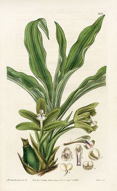 William Curtis Botanical Orchid Prints 1787-1826