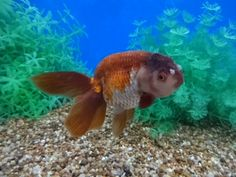 Lavender Lionhead with Phoenix Tail Oranda Goldfish, Cute Fish, Types Of Gold, Fish Print, Fish Tank, Under The Sea, Koi, Animals And Pets, Lavender