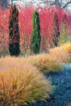"Hakonechloa macra and Ophiopogon planiscapus nigrescensThis is on the edge of the Summer and Winter Garden and keeping with geographical terms Adrian has created a ""black sea"", with a breaking wave of Hakonechloa. This now in late autumn shows the red stems of the Cornus highlighted by the dark green pillars of Taxus, autumnal tones of the grass..."