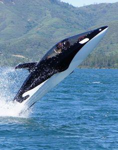 Seabreacher X-Model Submersible Watercraft, Futuristic Vehicle, Dolphin (VIDEO)