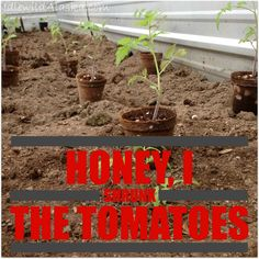 Honey I Shrunk the Tomatoes or How to Plant Tomatoes #Garden, #HowTo, #Organic, #Tomato #Gardening