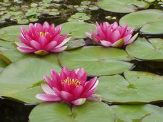 Lovely waterlily pond