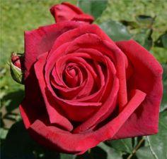 """ Big Chief "" - Hybrid tea rose - Dark red - Strong fragrance - Patrick Dickson (UK), 1975"