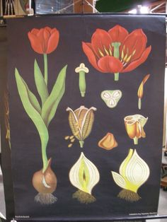 Assorted charts of flowers, humans and more in booth SF154  www.wertzbrothersantiques.com