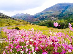 It is as if the beautiful cosmos flowers bloom to bid the Summer season farewell. Africa Painting, Cosmos Flowers, Flower Landscape, Animal Paintings, Amazing Nature, Wonders Of The World, Flower Art, Landscape Paintings, Places To Travel