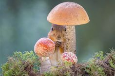 Squirrel hanging out in a mushroom patch. Photography by Geert Weggen.
