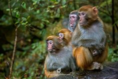 Rhesus Macaques (Macaca mulatta) by Istvan Kadar - Photo 189137967 / 500px