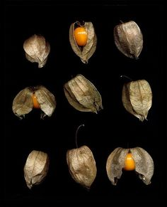 """ground cherries"" (what we always called Chinese Jack-o-Lanterns - we pick and hang them upside down to dry while still orange - makes a great fall centerpiece or accent"