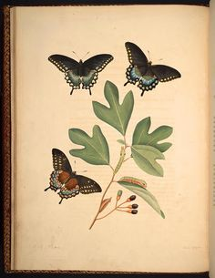 heaveninawildflower:  Plate from 'The Natural History of the Rarer Lepidopterous Insects of Georgia' Volume 1 (1797) by John Abbot and James Edward Smith. Missouri Botanical Gardenhttps://archive.org/stream/mobot31753000314424#page/n5/mode/2up