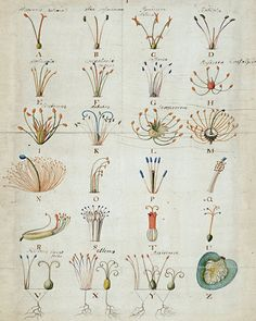 Georg Ehret, illustration from Linnaeus' Genera Plantarum (detail), 1737.
