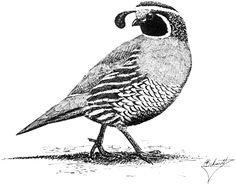 quail- for my next tattoo