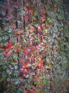 2014 11 10-autunno-milano-foliage-edera-A.jpg
