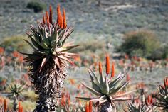 Some Aloe plants along the between Uniondale De Rust in the Western Province, South Africa.