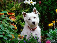 Westies and Scotties