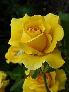 Sárga rózsa..