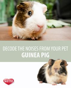 Decode the noises you normally hear from your guinea pig on our blog.