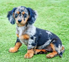 Dapple Doxie by Doxieone, via Flickr  I want one like this. EC