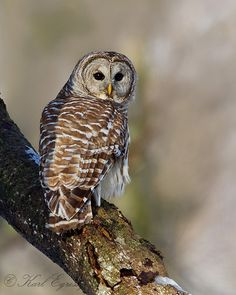 barred owl - OH & FL (large bird with such a distinctive call) go in the woods in February and hear the symphony of mating calls - awesome