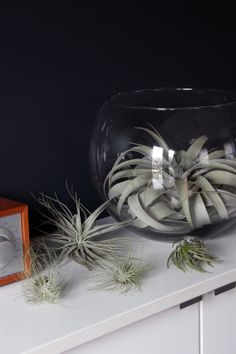 air plant...still want these suspended from ceiling