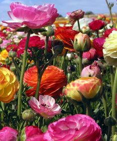 The Ranunculus Picotee Mixture - Ranunculus - Indoor Bulbs - Flower Bulb Index
