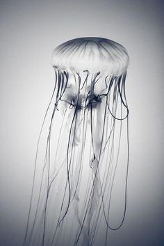 Wunder der Natur-Medusa by Giulio Menna