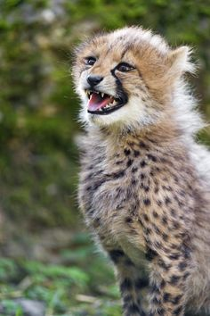 Tambako The Jaguar Cute chirping cheetah cub