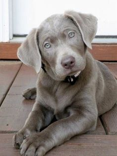 Silver Labs aren't a recognized breed but I hope they are someday because they are gorgeous! -Alicia