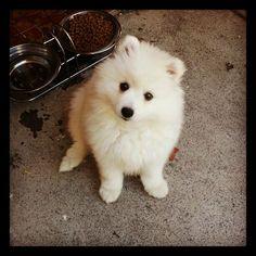 83 Best Spitz Images Japanese Spitz Samoyed Samoyed Dog