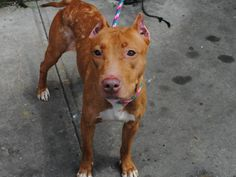 GONE RIP 8/4/13 Brooklyn Center  FULTON - A0972890  FEMALE, BROWN, PIT BULL MIX, 2 yrs What can we say, this is a girl who does everything with exuberance. We need all hands on deck to advocate for Fulton so that she doesn't lose her life tomorrow. Please don't let this free spirit die without a chance at life. This adorable baby is available for direct adoption via the NYC ACC website or through a New Hope Partner.