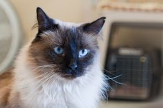 Bindi is an adoptable Himalayan Cat in Saint Charles, MO. Hi my name is Bindi! I'm a beautiful young girl that loves to be lavished with attention. I also enjoy sitting in the window.  http://www.petfinder.com/petdetail/16447412