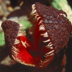 hydnora-africana, smells like feces, this attracts beetles which are it's natural pollinators