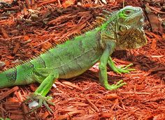 Bearded iguanas know they're cool. #reptiles